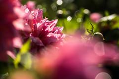 Sofieros dahlior (gunillasteen) Tags: sofiero dahlia macroflower macrophoto