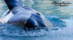 Keijo Little Orca (orcamel30) Tags: orque orca keijo marineland nikon 55300 echouage naturel water effet behavior soigneur animal marin orcinus shamu wikie moana orcamel30