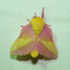 Rosy Maple Moth (Dendroica cerulea) Tags: rosymaplemoth dryocamparubicunda dryocampa ceratocampinae saturniidae bombycoidea lepidoptera insecta hexapoda arthropoda arthropod insect invertebrate moth summer whitesbogvillage brendantbyrnestateforest lebanonstateforest pinebarrens newjerseypinelands brownsmills burlingtoncounty nj newjersey