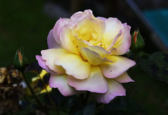 DSC_7602 (PeaTJay) Tags: nikond750 sigma reading lowerearley berkshire macro micro closeups gardens outdoors nature flora fauna plants flowers rose roses rosebuds