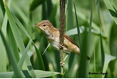 Reed warbler (ramarg60 Trying now to catch up.) Tags: reedwarbler chelmarsh shropshire