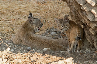Bobcat - Mother and child