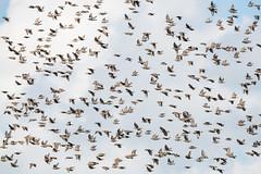 Murmuration of Starlings (CapMarcel) Tags: troopofstarlings sharpandunsharp murmuration