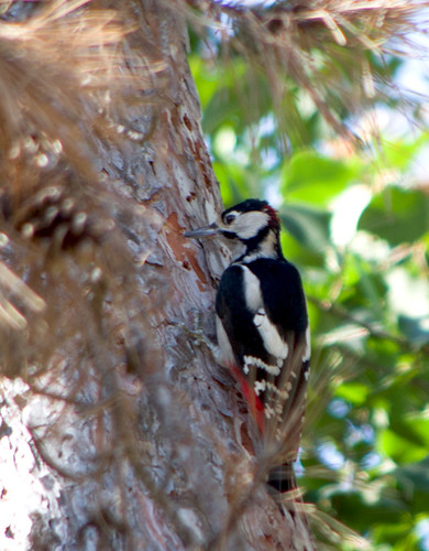Большой пёстрый дятел / Dendrocopos major / Great spotted woodpecker / Голям пъстър кълвач / Buntspecht