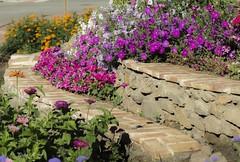 Escalonadas (pedroramfra91) Tags: verano summer flores flowers jardín garden colores colors