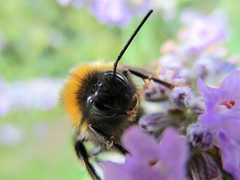 """Bee my Honey"" (seanwalsh4) Tags: beemyhoney bizarrebugs smileonsaturday laugh funny cute oddlooking furry bigeyed dodgy humour nectar honey hive buzzy"