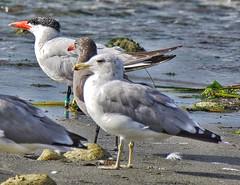 Three amigos (richmondbrian) Tags: dncb 201732 pointroberts caspian tern california gull heermanns