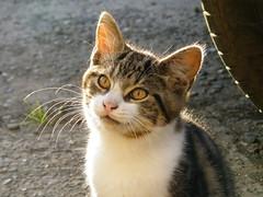 Backlit kitten (rospix+) Tags: rospix 2017 august wales uk animal cat tabby tabbycat kitten light expression
