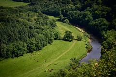Cows & Wye (2norfolk) Tags: symondsyat england unitedkingdom gb riverwye curve yatrock grass green cows field