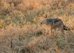 Black Backed Jackal (dunderdan77) Tags: mammal jackal animal kruger national park south africa nikon tamron nature wildlife outdoor safari
