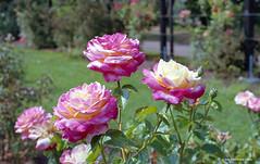 Rose garden - film (JSB PHOTOGRAPHS) Tags: nikonfa8817665 35mmfilm 50mm ishootfilm md15 nikkor nikon nikonfa nikonfilm colorfilm f14 film filmcamera filmisnotdead filmphotography owenmemorialrosegarden owenrosegarden eugeneoregon