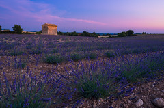 Expectation (Quasqua) Tags: provence puimoisson france fr lavande lavender scenic purple provencealpescôtedazur field landscape violet breath taking landscapes