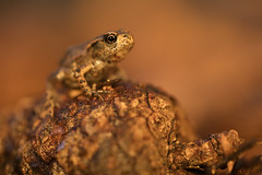 Common Toadlet (Daniel Trim) Tags: common toad amphibian uk wildlife nature animals animal bufo baby toadlet