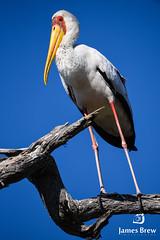 Stork Life (www.jamesbrew.com) (James Brew (www.jamesbrew.com)) Tags: botswana africa southern wildlife okavango delta birds safari