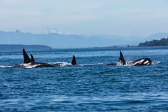 Orca pod (schoeband) Tags: orca killerwhale biggsorcas transientorcas rosariostrait orcasisland washington unitedstatesofamerica usa