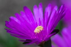purple glow (ralfkai41) Tags: garden plant macro pflanze blossom flower garten blume nature makro natur blüte