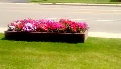 Flower box! (Maenette1) Tags: flowerbox pink flowers grass street highwayus41 menomineemunicipalcomplex menominee uppermichigan flicker365