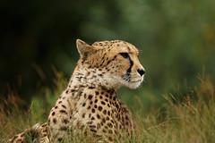 Garfield's cousin (Wim van Bezouw) Tags: animal cheetah cat pussy bokeh sony ilce7m2 tamron 150600mm zoo