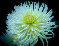 Dahlia, Snoho Storm (vern Ri) Tags: nybg white fleur flora fiori blumen bloom fuji