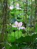 (Soror Mystica) Tags: lotuspond nelumbonucifera lotus