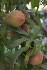 peach (Kirlikedi) Tags: peach fruit plant tree leaf green red fresh healthy round oval agriculture harvest vegetarian
