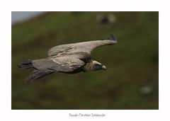 Vautour fauve - Griffon Vulture (Pascale Ménétrier Delalandre) Tags: vautourfauve gypsfulvus griffonvulture accipitriformes accipitridés oiseaux rapace faune nature hautespyrénées france tamronsp150600divcusd canoneos7dmarkii pascaleménétrierdelalandre ngg