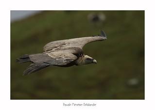 Vautour fauve - Griffon Vulture