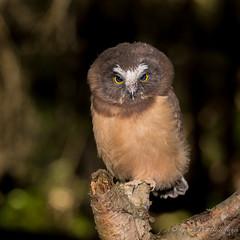 Northern Saw-whet Owl (Turk Images) Tags: aegoliusacadicus aspenparkland borealfringe northernsawwhetowl agricultural alberta birds nsow owls strigidae thorhild