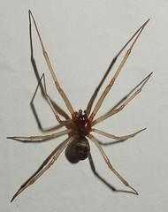 DSCN4301 Spider - male Steatoda nobilis (John Steedman) Tags: spinne araignée araña london uk unitedkingdom england イングランド 英格兰 greatbritain grandebretagne grossbritannien 大不列顛島 グレートブリテン島 英國 イギリス ロンドン 伦敦 spider steatodanobilis male