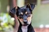 Puppy (Explore) (Vinicius_Ldna) Tags: 5550 dog pet care caress srd viralata canon 70200 t3i londrina brazil cachorro puppy filhote daisy explore explored