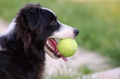 (Yoav Bar) Tags: dog border bordercollie collie park puppy pupp telaviv jaffa
