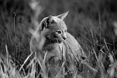 Country Cat (Zèè) Tags: chat cat cats gato gatto katze kot kitty katzen kat katt black bw blanc white noir noirblanc nature natur monochrome blackandwhite feline