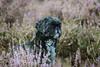 #amy (Janne Fairy) Tags: hund dog canon canon500d eos500d heath heide nature natur animal pet pets haustier tier