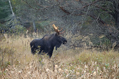 Master of his domain (Seventh day photography.ca) Tags: moose bull male animal mammal wildanimal wildlife ontario canada fall autumn algonquinprovincialpark seventhdayphotography chrismacdonald