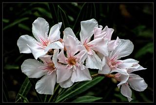 Oleander Flowers Tenerife