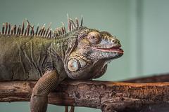 Ha ha ha (Christel Schoepen) Tags: leguaan reptiel dierenpark normandie frankrijk jurques