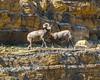 Bighorn Sheep (vishalnayyar2014) Tags: ngc glacier national park gnp august2017 ngp bighorn sheep animal wildlife travel photography photo hiking trail bear country fight mountains horns onlythebestofnature