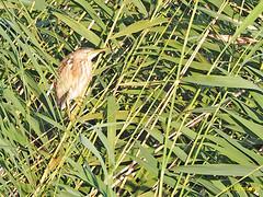 Avetorillo común (Ixobrychus minutus) (2) (eb3alfmiguel) Tags: aves zancudas garzas ardeidae garza ciconiiformes avetorillo común ixobrychus minutus