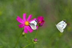 モンシロチョウ (myu-myu) Tags: nature insect butterfly pierirapae cosmos field nikon d500 昆虫 チョウ モンシロチョウ コスモス japan