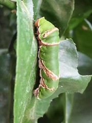 Horniman butterfly caterpillar 1 (Inkysloth) Tags: butterfly butterflies insect insects invertebrate lepidoptera animal horniman hornimanmuseum caterpillar bug