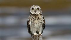 Short-eared owl (roysalomonsen) Tags: brantacanadensis jordugle shortearedowl birdportrait tromsø tisnes canoneos7d sigma150600mm