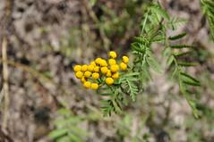 Tanacetum vulgare (douneika) Tags: val di sella tanacetum vulgare taxonomy:family=asteraceae taxonomy:binomial=tanacetumvulgare