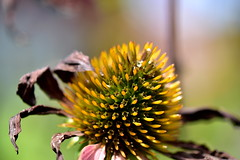 Exhausted Echinacea (thatSandygirl) Tags: latesummer fall autumn echinacea coneflower yellow petals dried shriveled macro flower floral flora plant