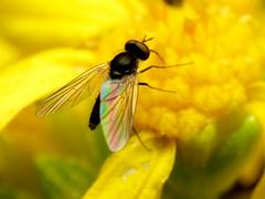 Bee Fly (treegrow) Tags: arizona lifeonearth nature canonpowershotsx40hs raynoxdcr250 arthropoda insect diptera southeastarizonainatathonaugust2017 fly huachucamountains bombyliidae geron taxonomy:genus=geron