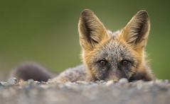 Peek-a-Boo Fox (Jeff Dyck) Tags: red cross fox redfox crossfox vulpesvulpes portrait princegeorge giscome bc britishcolumbia jeffdyck