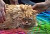 IMG_2432 (kz1000ps) Tags: boston massachusetts bostoncommon common park cats kitties kittens felines caturday purr catcafe brighton humane society adoptions famousseamus