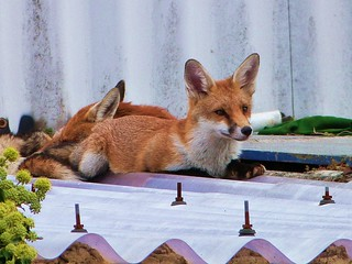 Foxes on the roof
