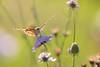 Belle dame (Vanessa cardui) (aurelien.ebel) Tags: alsace animal basrhin belledame france insecte lawantzenau nymphalidae nymphalinae papillondejour rhopalocères vanessacarduilinnaeus 1758