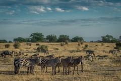 A WARY HERD OF ZEBRA ON THE SAVANNAH (dmberman1) Tags: eastafrica wildlife zebra tarangirenationalpark animals tanzania africasafari