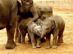 Three Asian elephant babys (BrigitteE1) Tags: erlebniszoohannover elefant elephant asiatischerelefant asianelefant elephasmaximus youngelephants babyelephant zoo hanover deutschland germany specanimal